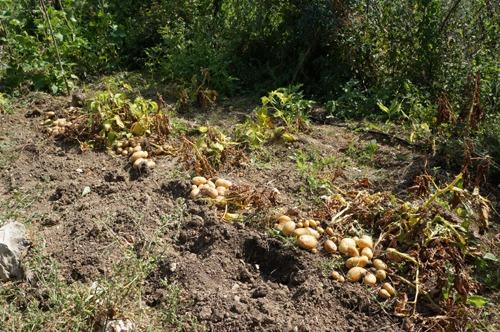 ジャガイモの収穫とやんちゃなヒヨコ達~7月の畑_f0106597_2465938.jpg