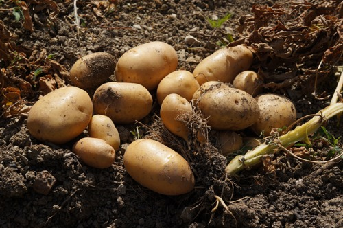 ジャガイモの収穫とやんちゃなヒヨコ達~7月の畑_f0106597_2473774.jpg