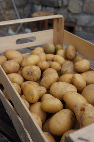 ジャガイモの収穫とやんちゃなヒヨコ達~7月の畑_f0106597_2484840.jpg