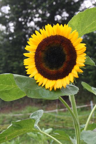 菜園 夏の花盛り_e0048413_22191713.jpg
