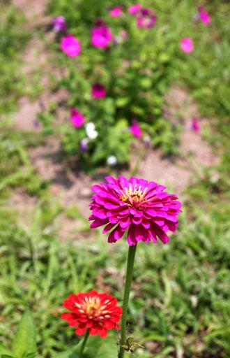 菜園 夏の花盛り_e0048413_22192885.jpg