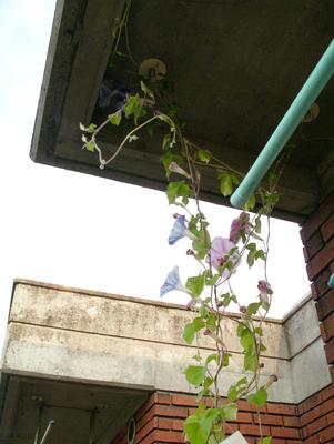 アサガオがベランダの天井で咲いています_f0108133_8254360.jpg
