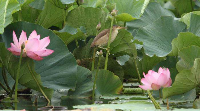 ハスの花とヨシゴイ_c0217255_23363588.jpg