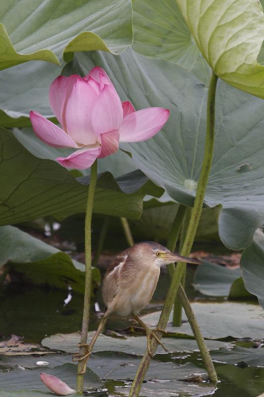 ハスの花とヨシゴイ_c0217255_23371783.jpg