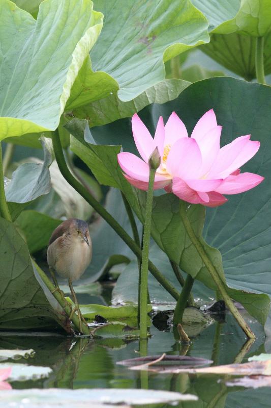 ハスの花とヨシゴイ_c0217255_23374632.jpg