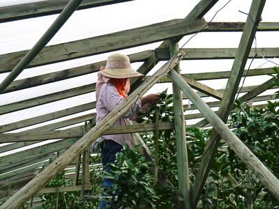 小春農園 デコポン(肥後ポン)のひも吊り作業_a0254656_1615684.jpg