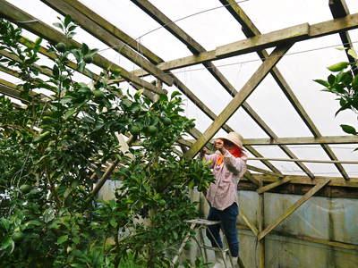 小春農園 デコポン(肥後ポン)のひも吊り作業_a0254656_16312755.jpg