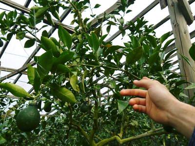 小春農園 デコポン(肥後ポン)のひも吊り作業_a0254656_1662919.jpg