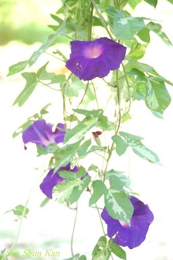 朝顔展 2012年夏_a0164068_17513679.jpg