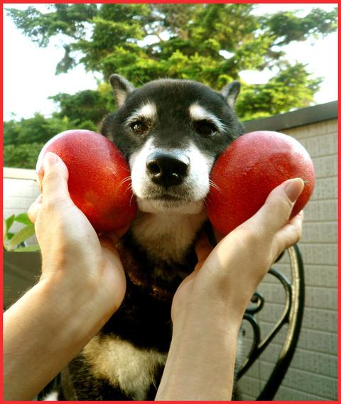 石垣島から、「黄金の果実」。熟れたマンゴー娘。_e0236072_22584744.jpg