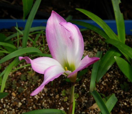 実生のHabranthus(ハブランサス)が開花♪_a0136293_1246593.jpg