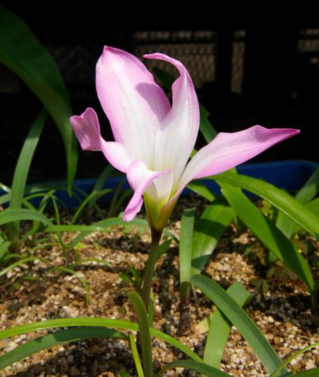 実生のHabranthus(ハブランサス)が開花♪_a0136293_13245386.jpg