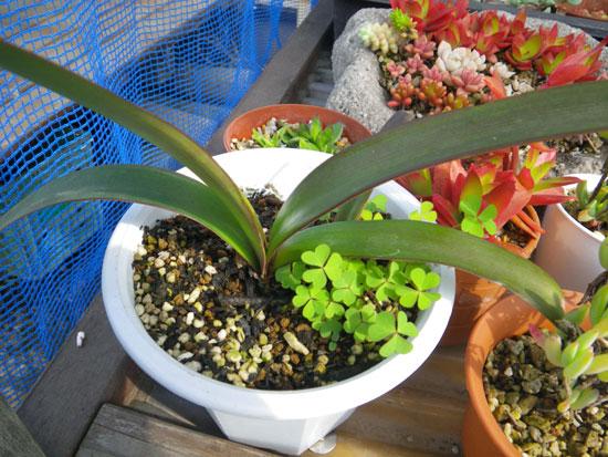 実生のHabranthus(ハブランサス)が開花♪_a0136293_13283564.jpg