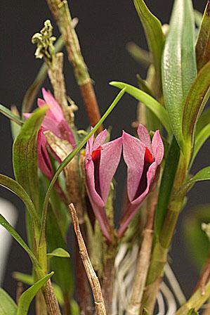 クール種;Den.ベキシラリウス_d0007501_13255840.jpg