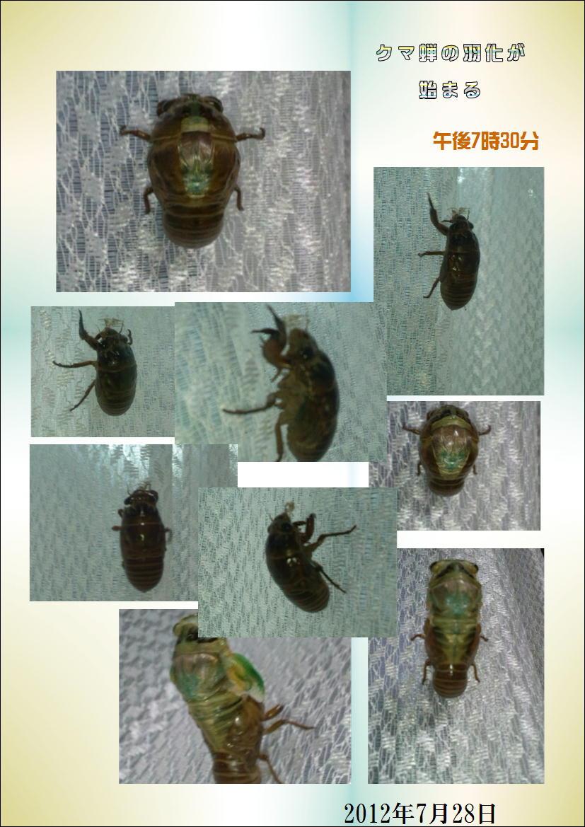 クマ蝉の羽化・観察日記(幼虫~羽化する1時間半)…2011/7/26_f0231709_905720.jpg