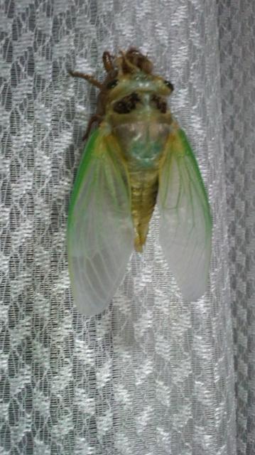 クマ蝉の羽化・観察日記(幼虫~羽化する1時間半)…2011/7/26_f0231709_9111920.jpg