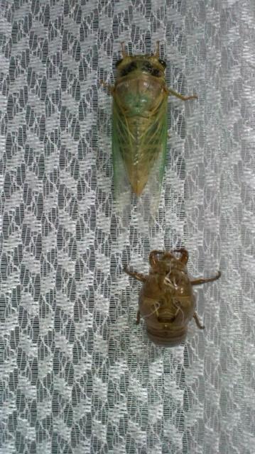 クマ蝉の羽化・観察日記(幼虫~羽化する1時間半)…2011/7/26_f0231709_9162672.jpg