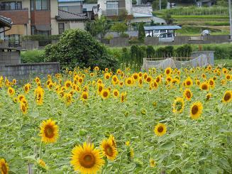 ヒマワリサイタ、ナツサカリ_e0175370_20592142.jpg
