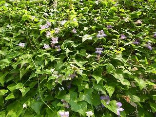 緑のカーテン アサリナ_f0059988_12423286.jpg