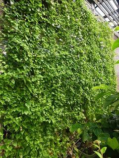 緑のカーテン アサリナ_f0059988_12471675.jpg