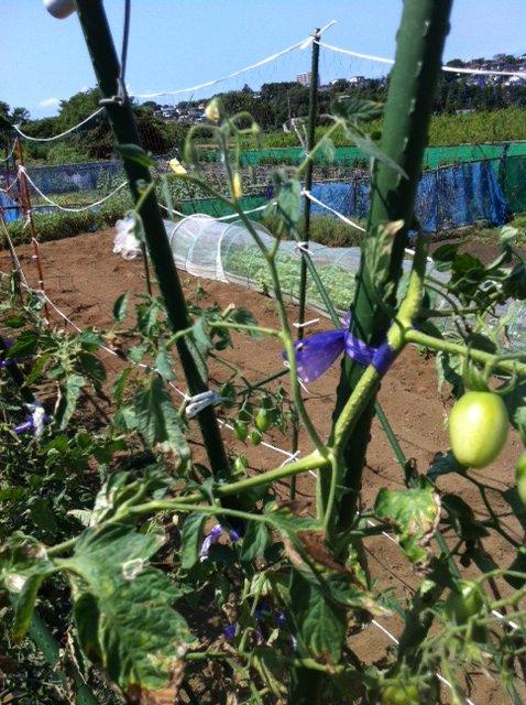 トマトの誘引と ズッキーニの株を抜き始めます・・ブラックベリーの収穫も・・_c0222448_12251419.jpg