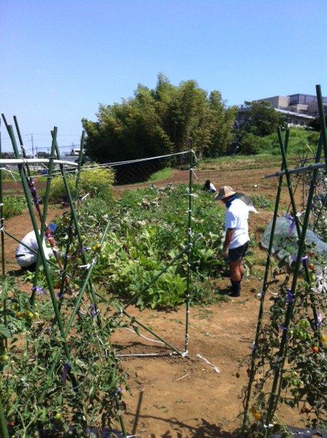トマトの誘引と ズッキーニの株を抜き始めます・・ブラックベリーの収穫も・・_c0222448_12252530.jpg