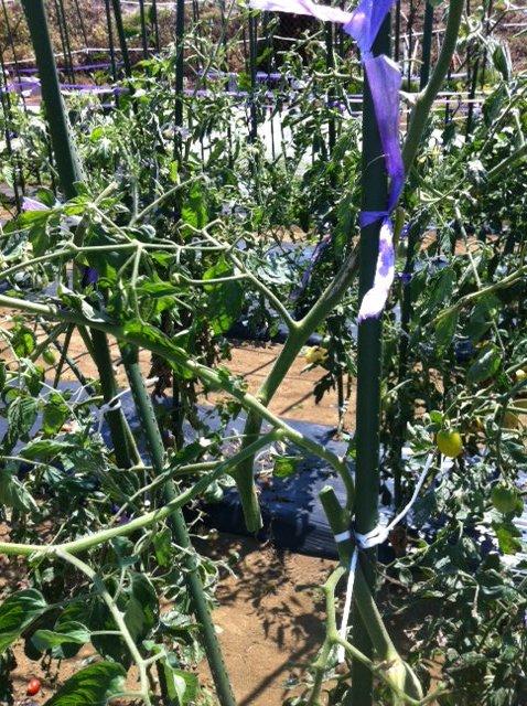 トマトの誘引と ズッキーニの株を抜き始めます・・ブラックベリーの収穫も・・_c0222448_12253418.jpg