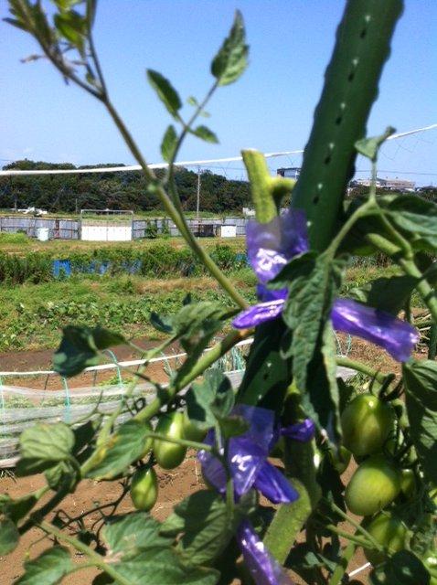 トマトの誘引と ズッキーニの株を抜き始めます・・ブラックベリーの収穫も・・_c0222448_1225527.jpg