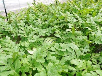 熊本スイカ 2回目はあえて自根栽培_a0254656_18343864.jpg