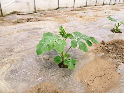 熊本スイカ 2回目はあえて自根栽培_a0254656_18361310.jpg