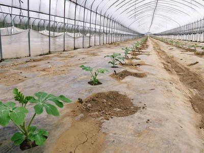 熊本スイカ 2回目はあえて自根栽培_a0254656_1914757.jpg