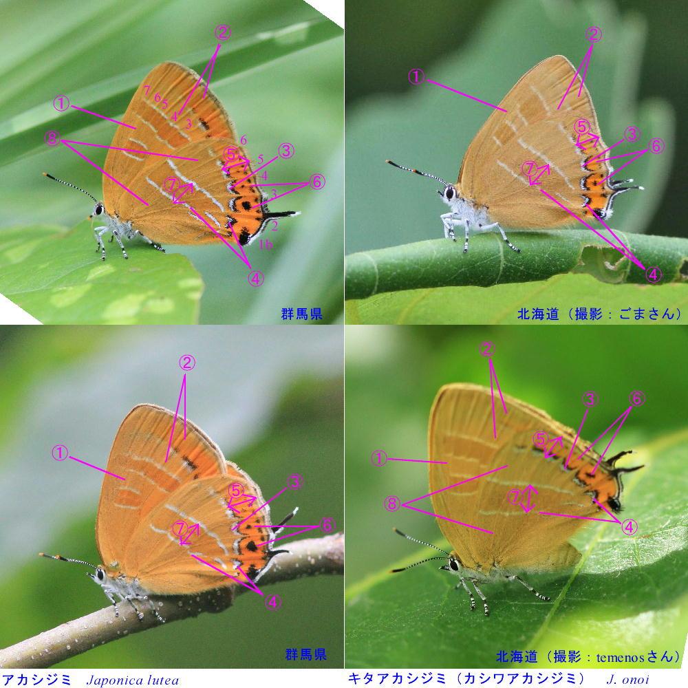 類似☆ アカシジミ × キタアカシジミ  翅裏比較図Ver.1.1 _a0146869_6261714.jpg
