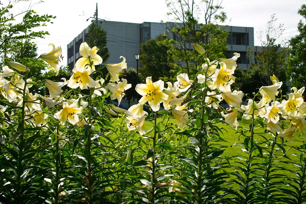 夏のゆいの花公園 7月16日の花壇から_c0223825_733473.jpg