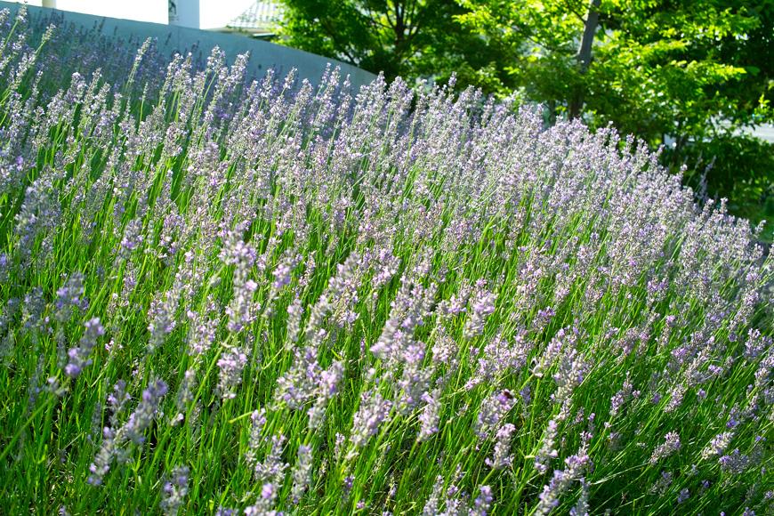 夏のゆいの花公園 7月16日の花壇から_c0223825_7474316.jpg
