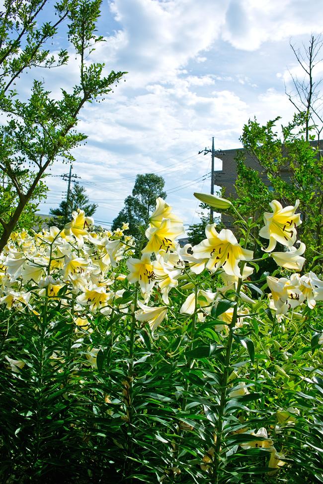 夏のゆいの花公園 7月16日の花壇から_c0223825_7515551.jpg