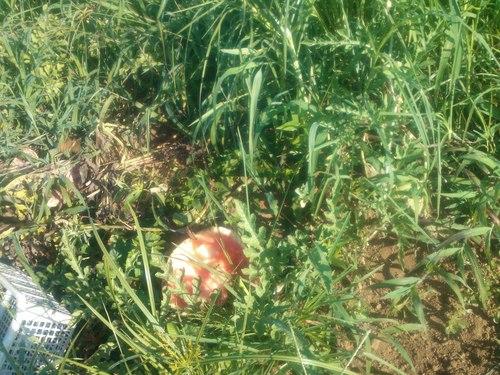 スイカをカラスに食べれれた....夏の草取り!_b0137932_12115327.jpg