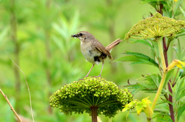 オホーツクのノゴマの番いと幼鳥。_b0165760_1828425.jpg