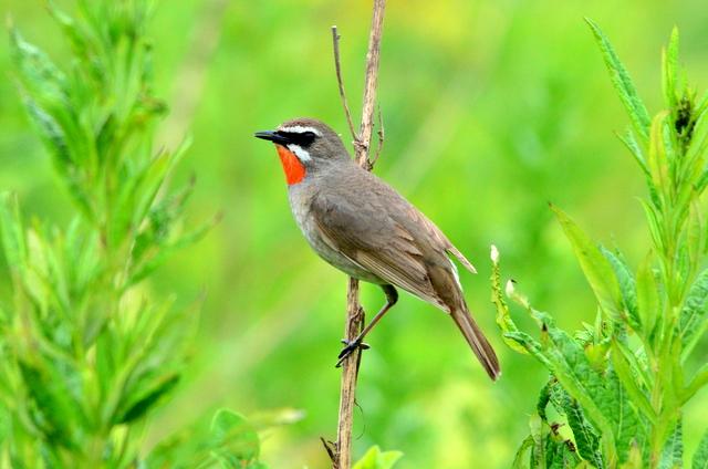 オホーツクのノゴマの番いと幼鳥。_b0165760_18305473.jpg