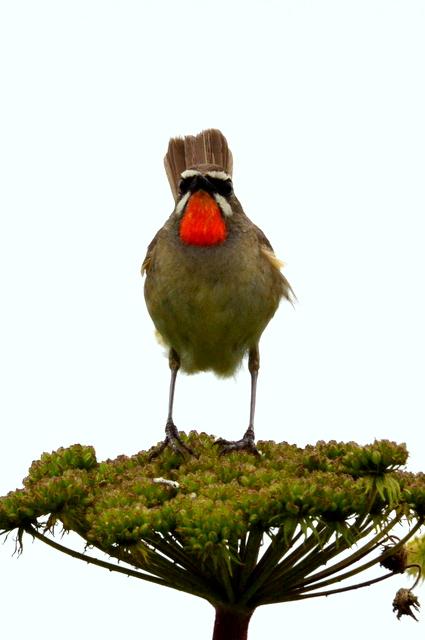 オホーツクのノゴマの番いと幼鳥。_b0165760_1833673.jpg