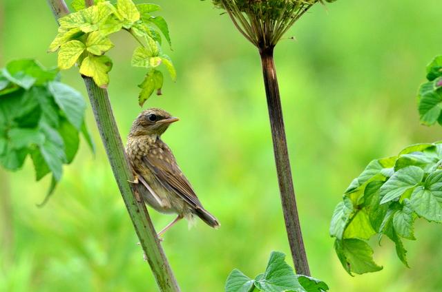 オホーツクのノゴマの番いと幼鳥。_b0165760_18344012.jpg