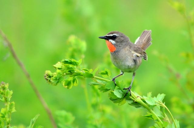 オホーツクのノゴマの番いと幼鳥。_b0165760_18351637.jpg