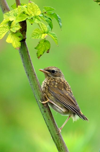オホーツクのノゴマの番いと幼鳥。_b0165760_18363015.jpg