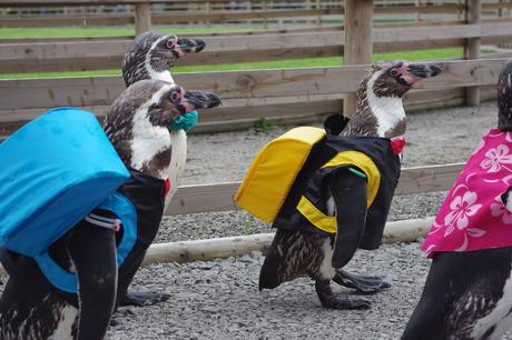 イルカランドのペンギンお散歩タイム