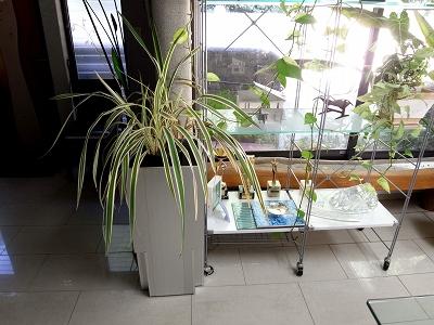 オフィスの片隅に咲くディアネラ_e0010418_1827825.jpg