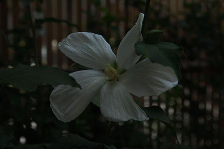 海の中は。。。   ~ムクゲの白花~_a0107574_8235010.jpg