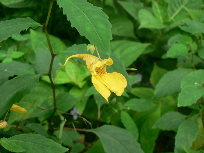 石鎚山の花_f0219710_7301824.jpg