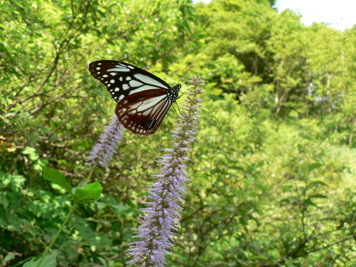 石鎚山の花_f0219710_736331.jpg