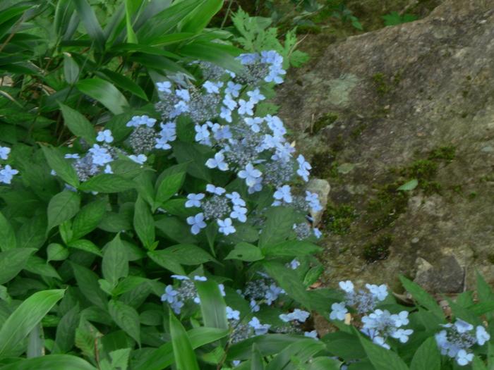 石鎚山の花_f0219710_7455378.jpg