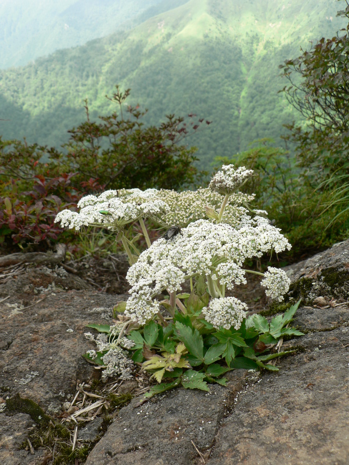 石鎚山の花_f0219710_7531314.jpg