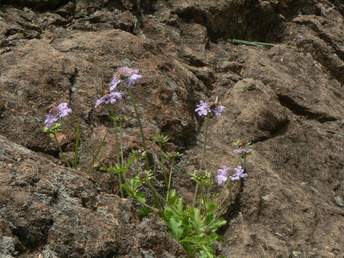 石鎚山の花_f0219710_7533258.jpg